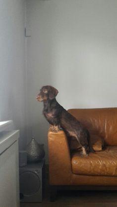 Moos the dachshund