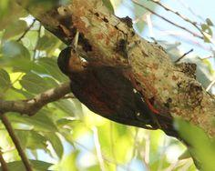 Okinawa Woodpecker Sapheopipo noguchii - Google Search