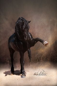 Friesian Stallion -Salute by Kevin Kidder