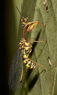 Mantis fly (Mantispidae) - Cardamom Mts, Cambodia