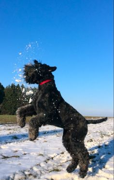 Black Russian Terrier, Dogs, Animals, Animales, Animaux, Pet Dogs, Doggies, Animal, Animais