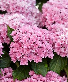The loveliest Hydrangea varities you can buy from online garden centre Bakker.com