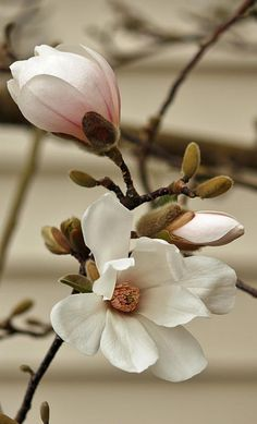 Magnolia By E Faithe Lester. Everywhere I am inspired by fragrance - from food, to beauty, to perfume to flowers. flowers rose Magnolia in white Art Print by E Faithe Lester Flowers Nature, Exotic Flowers, White Flowers, Beautiful Flowers, Beautiful Pictures, Simple Flowers, Big Flowers, Tropical Flowers, Colorful Flowers