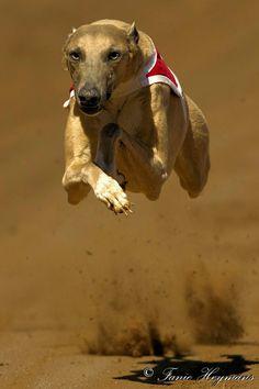 Flying High Greyhound           by Fanie Heymans