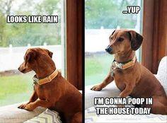 Dachshund meme - dachshunds and rain! From View from the Birdhouse: Dear Abby - 15 Dachshund Meme meme - dachshunds and rain! From View from the Birdhouse: Dear Abby - 15 Dachshund Memes Dachshund Funny, Dachshund Puppies, Dachshund Love, Funny Dogs, Cute Puppies, Cute Dogs, Daschund, Funny Dachshund Pictures, Dachshund Facts
