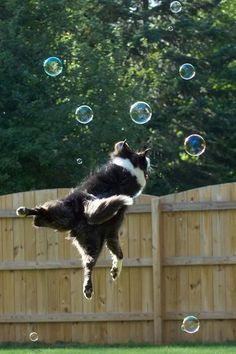 "~ Bill Blevins.   I've probably taken ""better"" pictures but this is one of my favorites of my border collie Grace flying with bubbles."