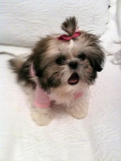 How adorable is this Shi Tzu in it's pink sweater?