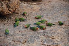 Parrots birds Agapornis roseicollis