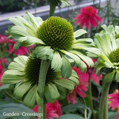 Brilliant in the Garden Center and brilliant in the garden is Echinacea 'Green Jewel'. An excellent addition to any Coneflower or perennial garden and will make a statement in the garden especially when planted in front of or mixed with plants of bright or bold colors. Plant this 1-2' tall and wide perennial in part shade to full sun and watch the butterflies come to visit. Perfect for fresh cut or dried floral arrangements. Hardy in zones 3-8.