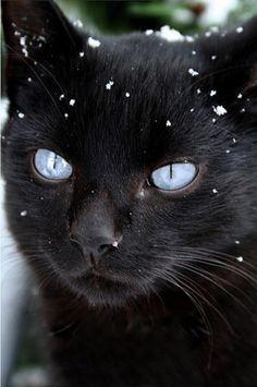 Blue-eyed black cat.