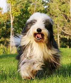 bearded collies for sale   previous next bearded collie ...