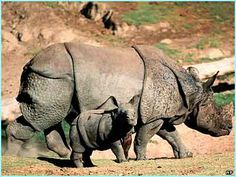 an indian rhino with her calf