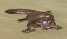 Rare platypus close encounter - Australian Geographic -- The young platypus is floating in a deep pool after a foraging foray. Baby Animals, Funny Animals, Cute Animals, Reflection Photography, Animal Photography, Duck Billed Platypus, Bird People, Close Encounters, Australian Animals