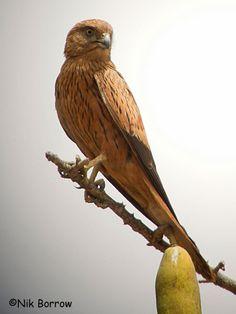 Fox Kestrel, Cameroon