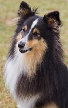 This is Freddie, the Shetland sheepdog, which I photographed at a recent event. The tri-colour dense coat really adds a lot of interest to this portrait photograph.   By angling the camera down slightly I have managed to cut out all the background noise, which would detract from the quality of this pet portrait.