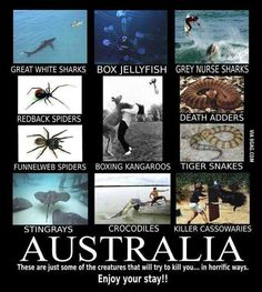 All I can say is that I've never seen a cassowary, great white shark, death adder, tiger snake(in a zoo), crocodile(saw it in a zoo), box jellyfish, grey nurse shark. The things I have seen is a red back spider(a whole fucking load of them, babies included) funnel web spider, stingray(only at the zoo/beach) And lots and lots and lots and lots and lots of Kangaroos, u see them on golf courses and even on the street in front of ur house!-Tia 🐢💚