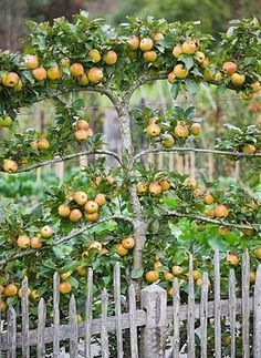 Espalier Trees for your garden - DIY Decorator Edible Landscaping: Espaliered apple tree Espalier Fruit Trees, Fruit Tree Garden, Garden Trees, Apple Garden, Patio Fruit Trees, Growing Fruit Trees, Citrus Trees, Potager Garden, Garden Landscaping