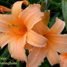 Daylily (Hemerocallis 'George Cunningham') in the Daylilies Database. Photo Courtesy of Crossview Gardens. | dip.