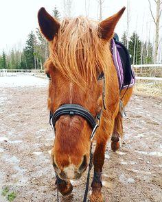 . . . #natathefinnhorse #finnhorse #horse #horsesofinstagram #instahorse #riding  #equestrian #instaequestrian #spring #mammanmussukka #karvamammutti