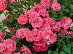 No doubt about it, 'Knock Out' rose has been the most successful plant introduction since marijuana. Millions upon millions have been sold to people looking for constant color with zero maintenance...