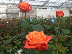 A New Orange Rose  variety named  Orange Crush