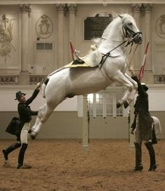 A Lipizzaner horse of the Spanish Riding School of Vienna jumps during a dress rehearsal for a gala show - Vienna