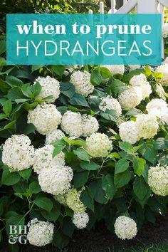 Pruning Hydrangeas, Hydrangea Bush, Hydrangea Care, When To Trim Hydrangeas, How To Trim Bushes, Landscaping Plants, Outdoor Landscaping, Hydrangea Landscaping, Backyard Patio