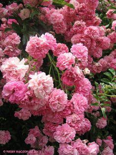 Floribunda Rose, Rambler Rose, Wichurana Rose 'Dorothy Perkins'Rosa