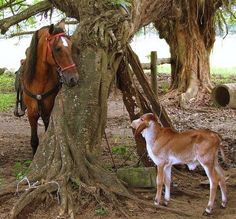 My 2 favorite farm animals horses and cows! And it's a Brahman:)