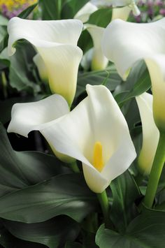 Few fresh cut flowers offer the elegance and versatility of the calla lily. If you are designing your own wedding bouquet, centerpieces or arrangements, the calla lily will provide all of the style… Exotic Flowers, Amazing Flowers, White Flowers, Beautiful Flowers, Style Floral, Lily Bulbs, Calla Lily, Trees To Plant, Bonsai