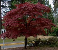 Hope to plant a Japanese Red Maple in our front yard! There's one at my moms we planted and my grandma loved it. After she past when I was 7 we called it the grandma neiley tree. I watched it grow as a kid, knowing she was always watching me grow. Small Trees For Garden, Garden Trees, Garden Plants, Japanese Red Maple Tree, Bloodgood Japanese Maple, Bloodgood Maple, Outdoor Plants, Outdoor Gardens, Baumgarten