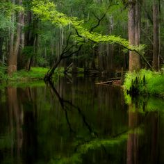 Cedar Creek, Congaree National Park, South Carolina.  The park preserves the largest tract of old growth bottomland hardwood forest left in the United States.  #Southern #swamp #mytumblr