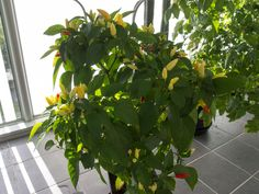 Little Elf chili pepper. Capsicum annuum. Ornamental.