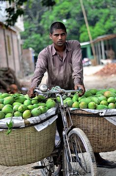 A man carrying about 100 KG of mangoes on his bicycle! Amazing! The Mangoes of Bangladesh are the best!!