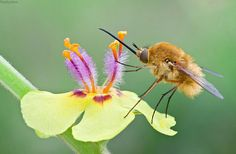 Long nose bee fly