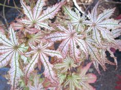 7 Best Japanese Maples Ghost Series And Similar Cultivars Images In