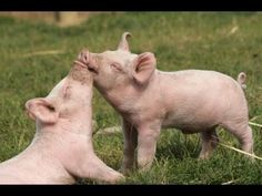 Farm Sanctuary - YouTube. Farm Sanctuary is committed to ending cruelty to farm animals and promoting compassionate vegan living through rescue, education, and advocacy efforts. Please join us. A compassionate world begins with you! http://www.farmsanctuary.org