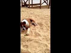 This Boxer puppy has a hilarious reaction to eating lime | Rare