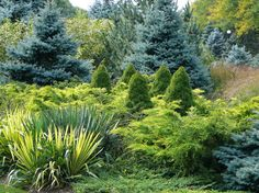 Contemporary Landscape- Colorado blue spruces;   Alberta spruces; and chartreuse junipers low in the foreground from Koreman Landscape Company