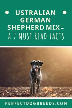 The Australian German Shepherd is a great family dog. Perfect Dog Breeds' guide tells you everything you need to know about this smart and active dog. Our information will help you understand the needs of this loyal canine. We cover its exercise, dietary, grooming requirements as well as including a few fun facts you will enjoy finding out about this puppy. You will also find out how to properly train your puppy. Find out more… #australiangermanshepherd #germanshepherd #australianshepherd Australian German Shepherd, German Shepherd Mix, Shepherd Dogs, Large Dog Breeds, Large Dogs, Puppy Find, Giant Dogs, Most Popular Dog Breeds, Dog Activities