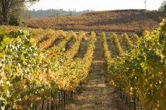 Our Vineyard in Fall. Fairplay, El Dorado County, Calif.