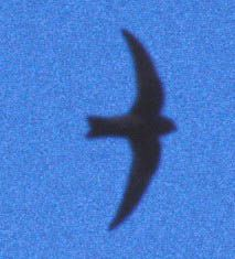 Common Name: BLACK SWIFT,  Scientific Name: CYPSELOIDES NIGER
