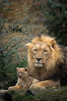 "Father with one cub | A pic from a male lion and one of his cubs. I've made this one at Zoo Basel  This picture made the 64th place by the ""Heartbeat of nature"" photo competition"
