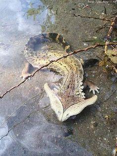 Hammerhead Salamander looks like something out of Jurassic Park