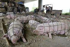 """"""" Dans certains élevages d'Asie, les porcs sont tout simplement enfermés dans de minuscules cages afin de les empêcher de bouger dans le but de les engraisser plus rapidement, comme le montre cette image. """" La mondialisation, la concurrence nous fait perdre conscience. Achetons conscient, vivons conscient. Alexandre Lecouillard"""