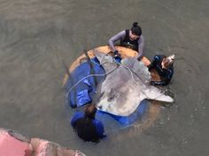 As gently as possible, our team secured the sunfish to a board so that it could be lifted out of the dry dock by a crane. Thanks for the photo Michelle Kirshenbaum. Ocean Aquarium, V&a Waterfront, Cape Town South Africa, The V&a, Crane, Two By Two, The Incredibles, Board, Planks