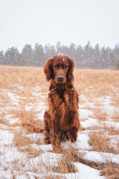 Irish Setter Irish Setter Source by The post Irish Setter appeared first on McGregor Dogs. Puppy Pictures, Dog Photos, I Love Dogs, Cute Dogs, Irish Setter Dogs, Sweet Dogs, Dog Lady, Crazy Dog, Hunting Dogs