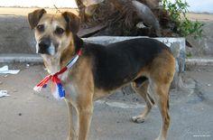 Perro a la Chilena. También celebrando el 18. Dogs, Animals, Bicycle Kick, Bestfriends, Animales, Animaux, Doggies, Animal, Animais
