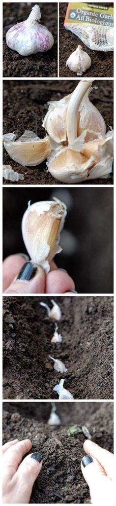 How to Plant Garlic - Always wanted to know this !!! Will be trying this soon.