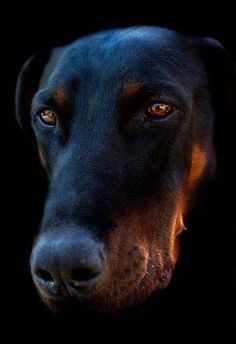 #Doberman  Diamond like eyes